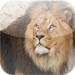 Amazing Lions iSlider Puzzles - free edition